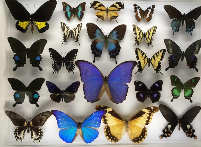 Butterflies Mounted